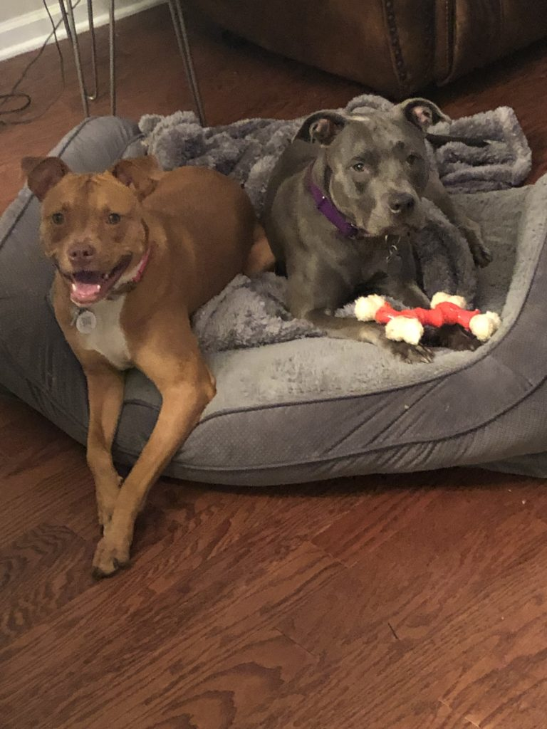Two Pit Bulls sitting in a dog bed. One is a red nose and and one a blue nose